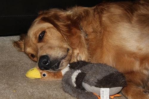 golden duck lover